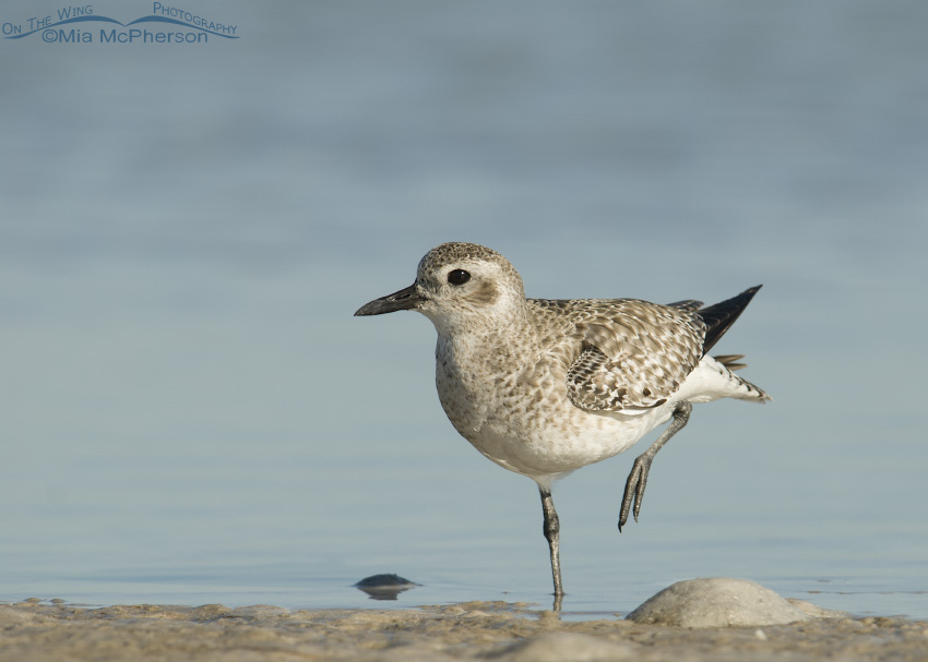 A Black-bellied Plover on one leg