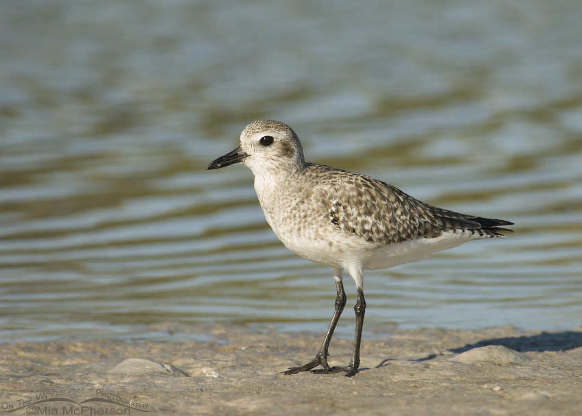 Nonbreeding Black-bellied Plover on the shore