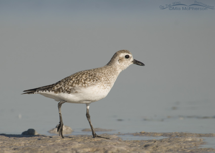 Black-bellied Plover hurrying on the shore