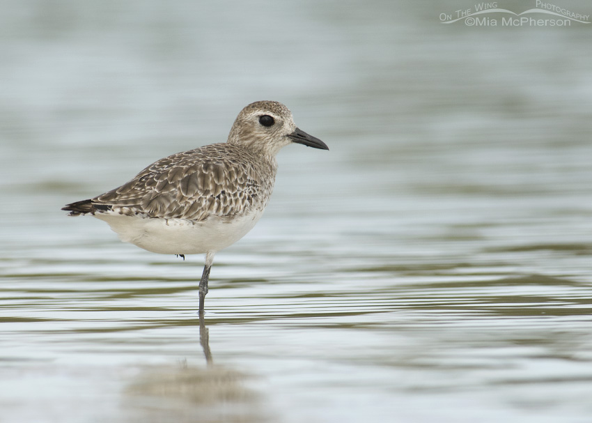 Black-bellied Plover in low light
