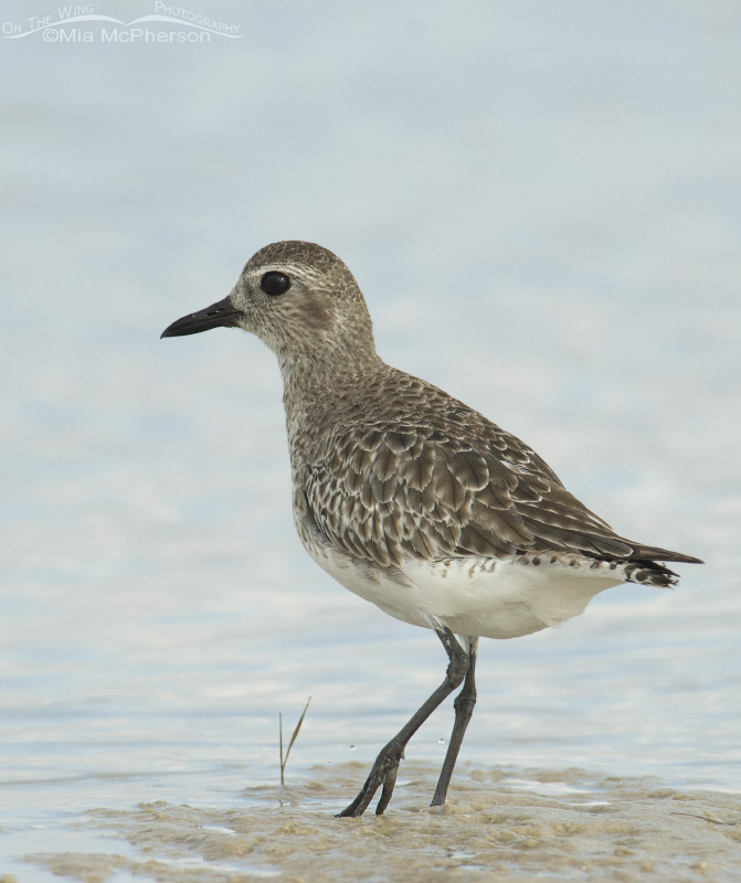 A Black-bellied Plover in low light conditions