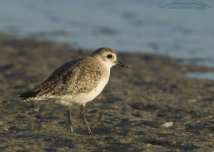 Early morning Black-bellied Plover on the mud flats