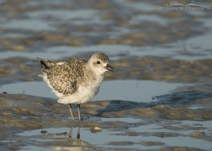 Nonbreeding Black-bellied Plover fluffing up