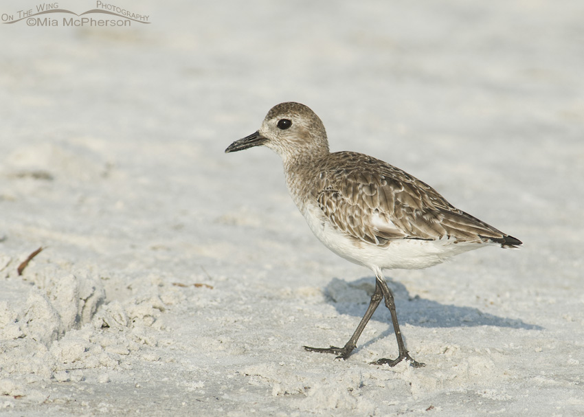 Black-bellied Plover on a sandy beach