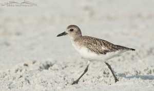 The beach and a Black-bellied Plover