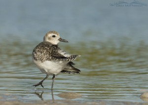 Back view of a Black-bellied Plover
