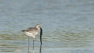 A Black-bellied Plover with a tubeworm snack