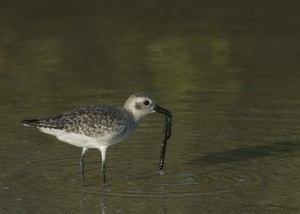 A Black-bellied Plover with a tubeworm
