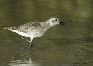 Calling Black-bellied Plover