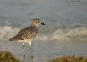 A Black-bellied Plover at the wrack line