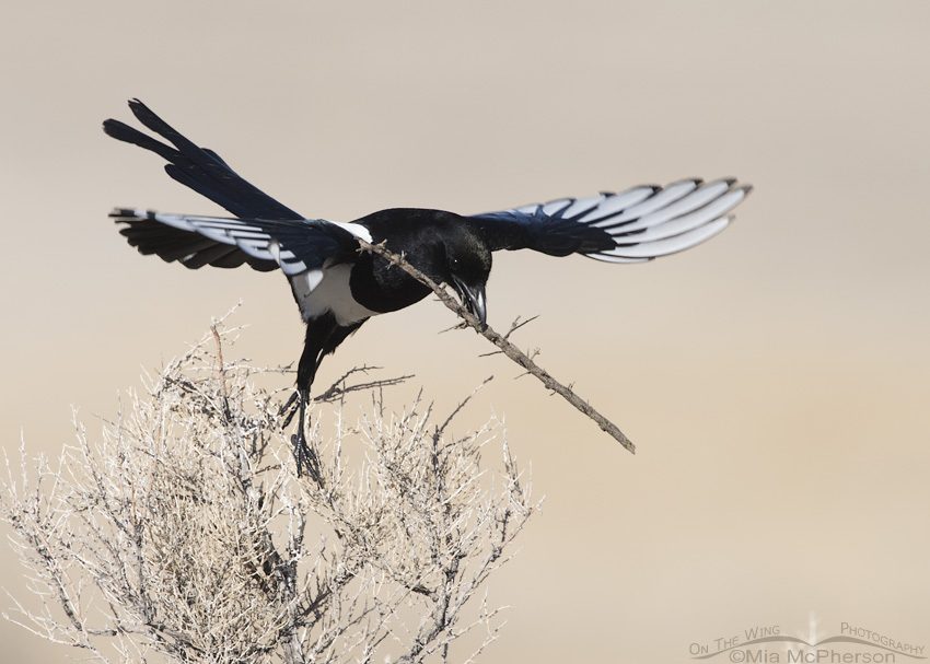 Adult Black-billed Magpie landing with nesting material
