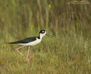 Calling male Black-necked Stilt