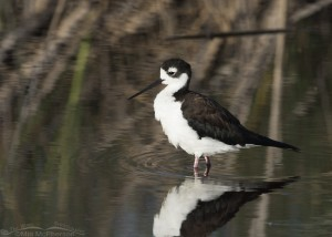 A Black-necked Stilt in a marsh