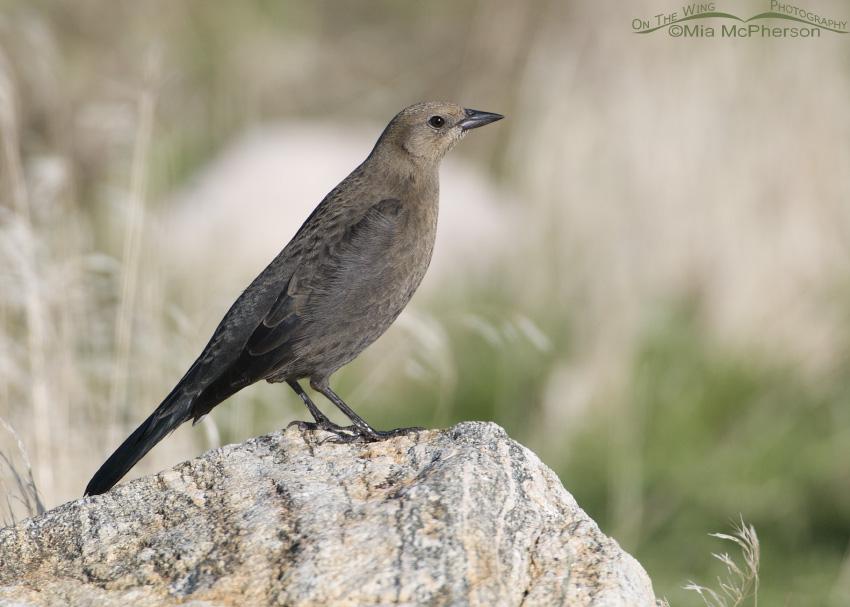 Brewer's Blackbird female perched upright