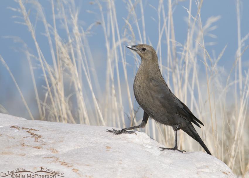 A Brewer's Blackbird female walking on a boulder