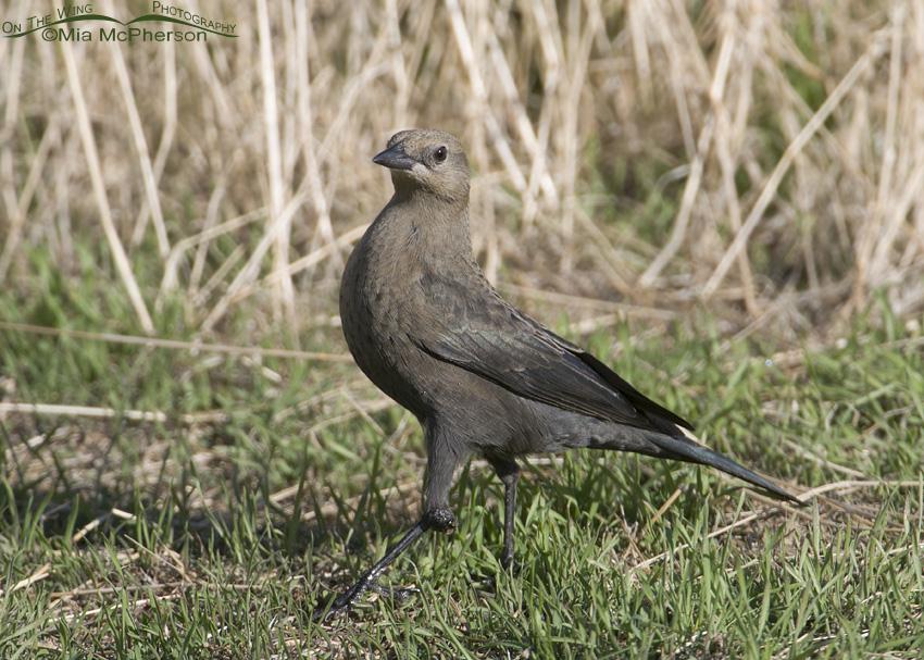 A close view of a Brewer's Blackbird female