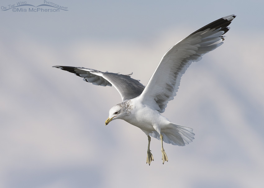 Flight of a California Gull in winter