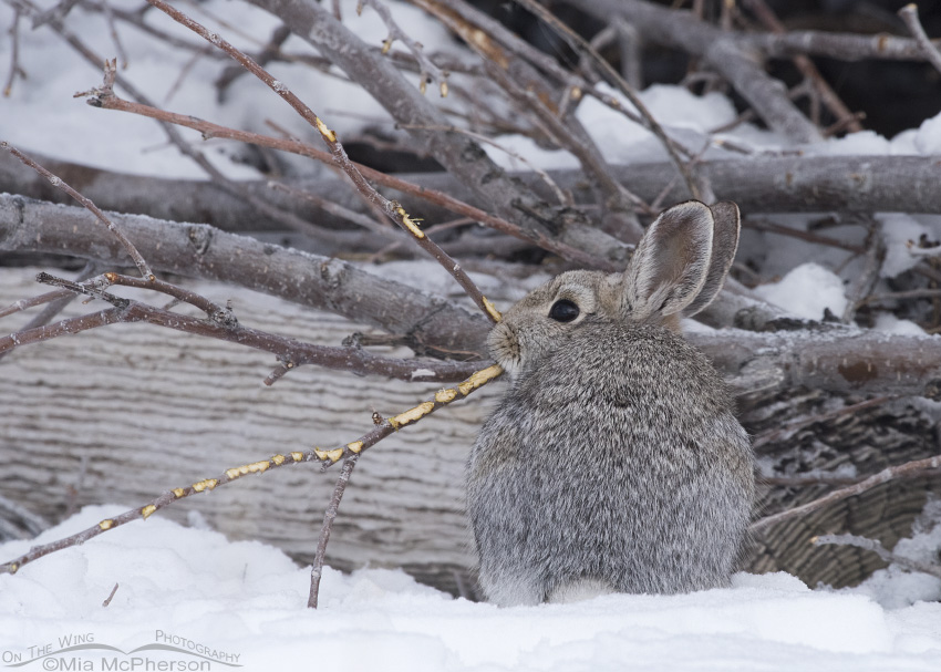 A Desert Cottontail eating the bark of a branch