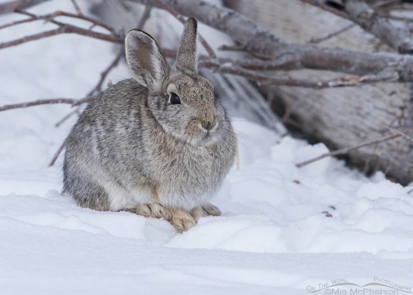Desert Cottontail resting on the snow