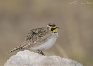 A male Horned Lark fluffed up from the cold