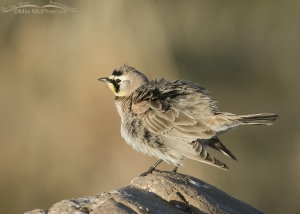 Male Horned Lark shaking its feathers