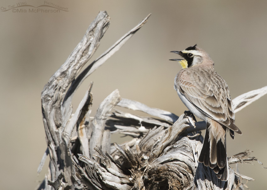 A male Horned Lark singing on a stump