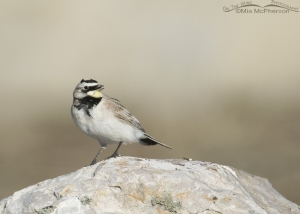 Side view of a male horned Lark in the West Desert