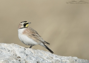 Profile view of a male Horned Lark
