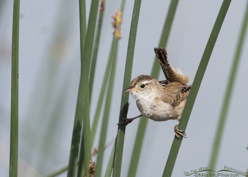 Marsh Wren with rushes