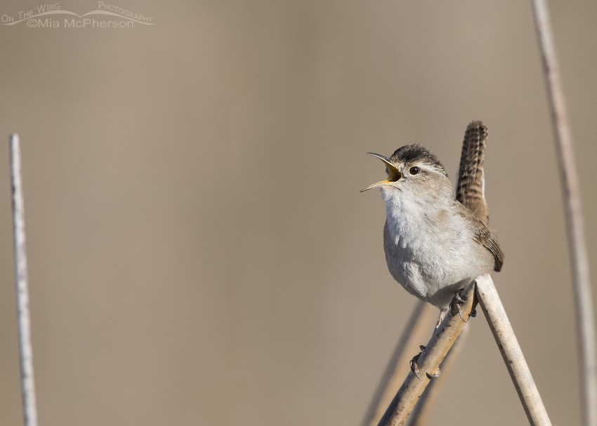 A Marsh Wren Sings on it territory