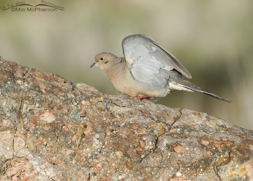 Mourning Dove wing lift