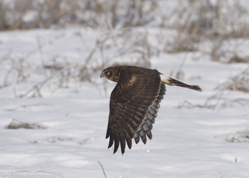 A juvenile female Northern Harrier flying over a field of snow
