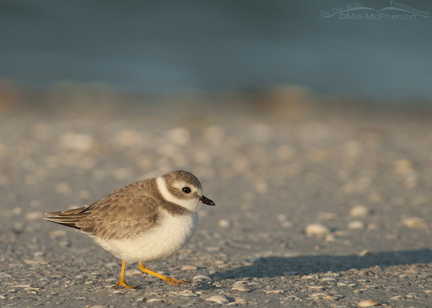 Piping Plover on a shell covered beach