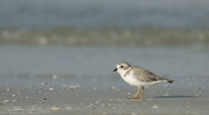 A small Piping Plover on a big beach