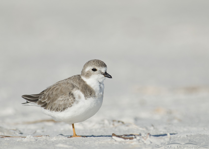 A Fluffy Piping Plover