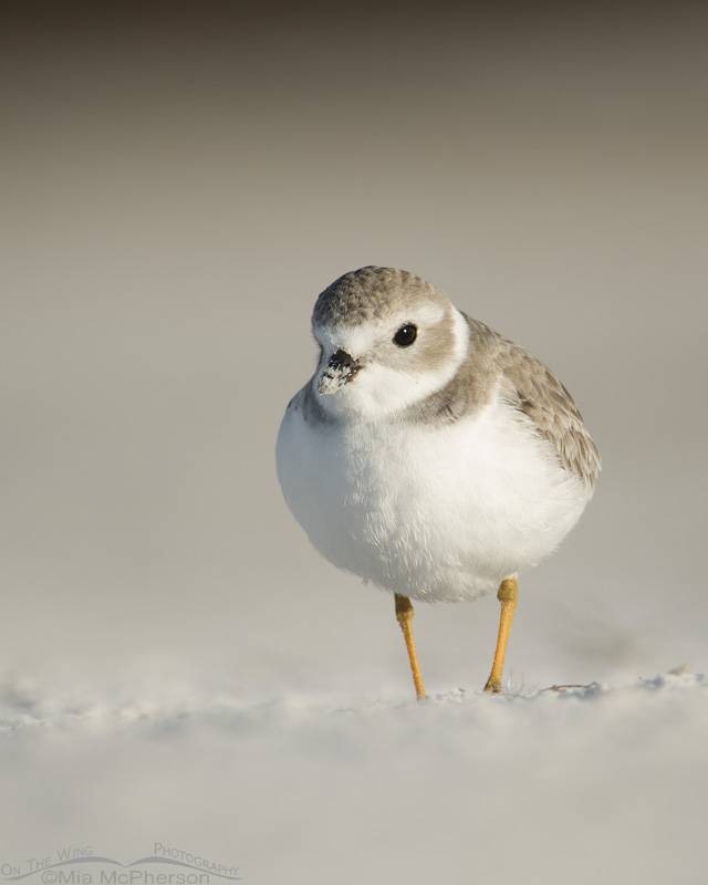 Piping Plover with a sandy beak