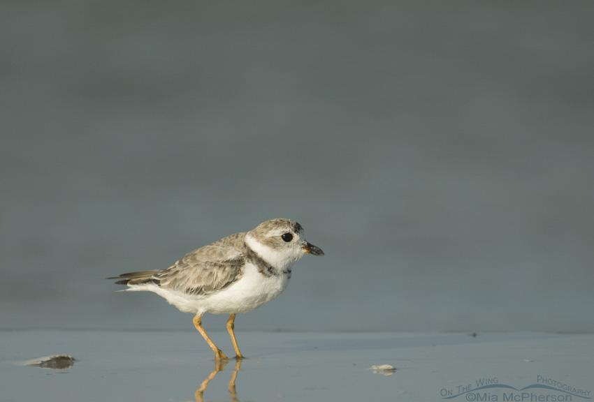 Piping Plover of the Gulf coast of Florida