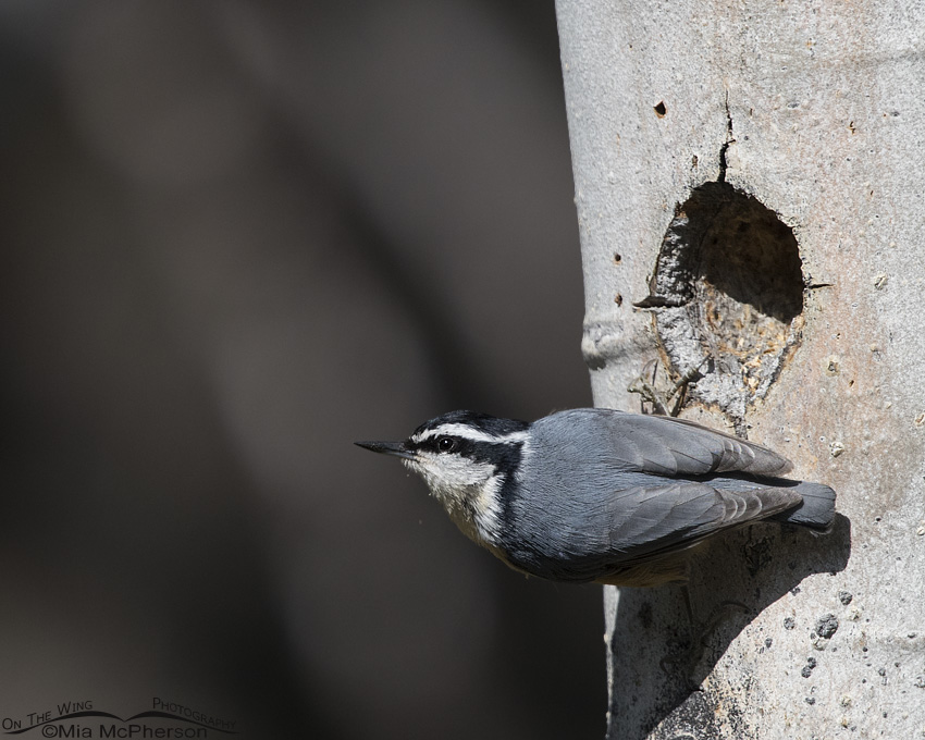 A Red-breasted Nuthatch clinging to an Aspen