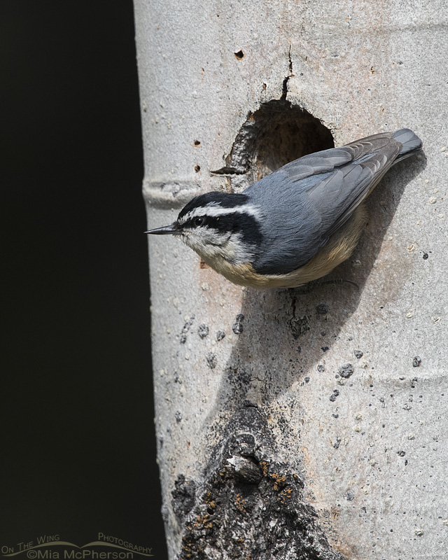 Red-breasted Nuthatch at a nesting tree
