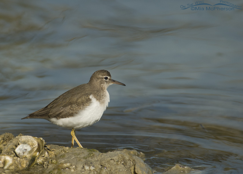 Spotted Sandpiper at rest next to the water