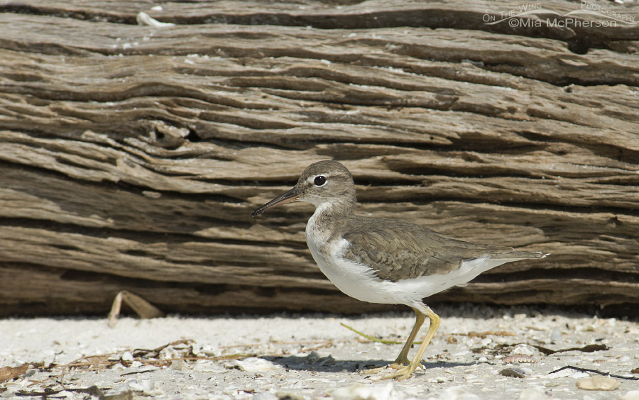 Spotted Sandpiper and driftwood