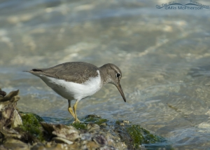 A Spotted Sandpiper on the shoreline