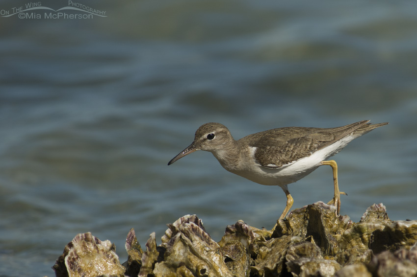Spotted Sandpiper on Oyster shells