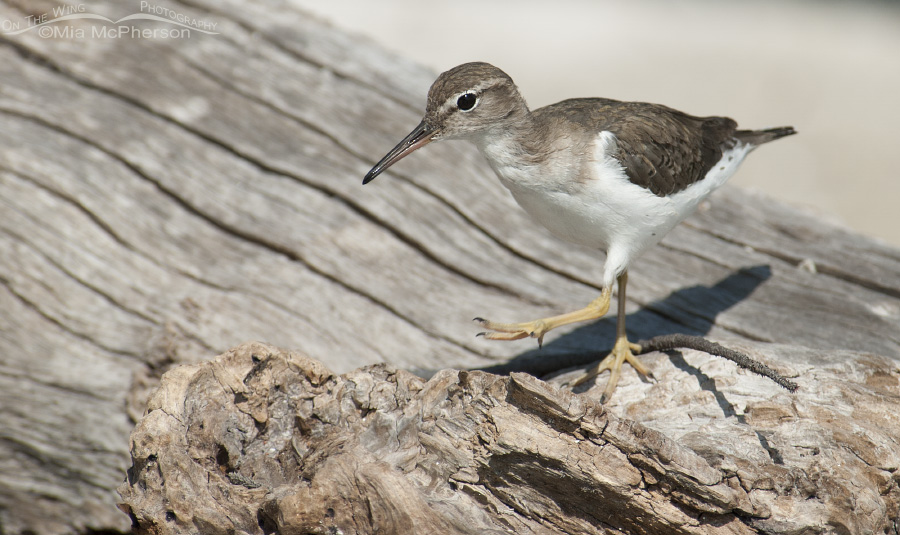 Spotted Sandpiper walking on driftwood