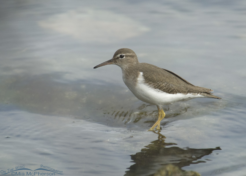Spotted Sandpiper in fog