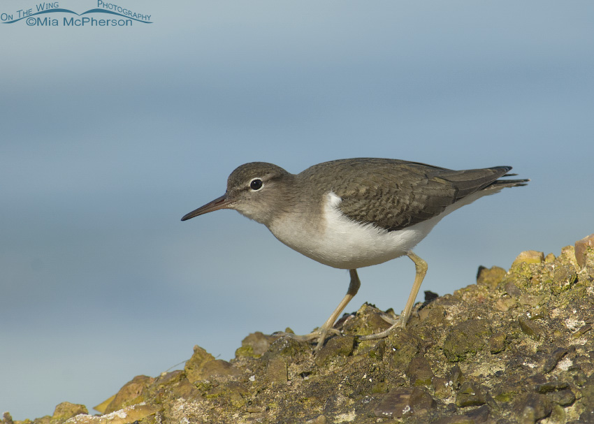 An alert Spotted Sandpiper
