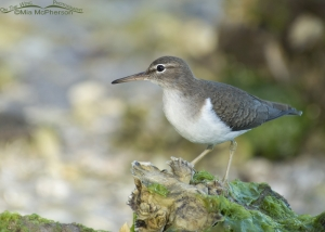 Spotted Sandpiper on an exposed Oyster bed