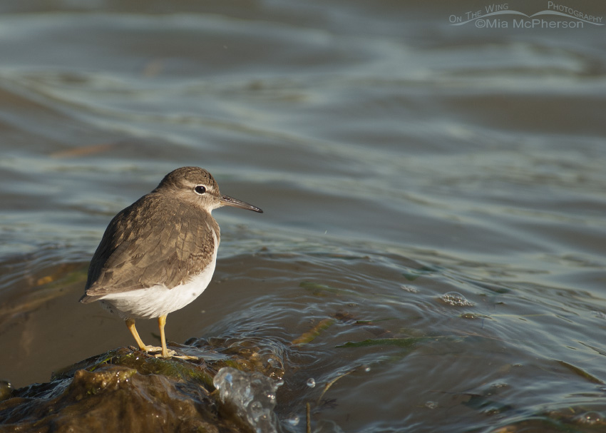 A Spotted Sandpiper at the water's edge