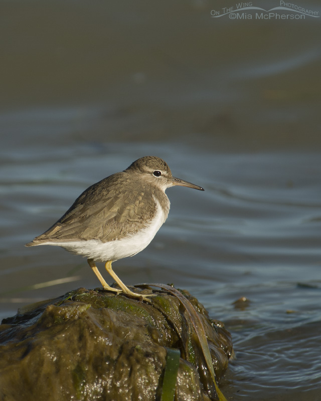 Side lit Spotted Sandpiper