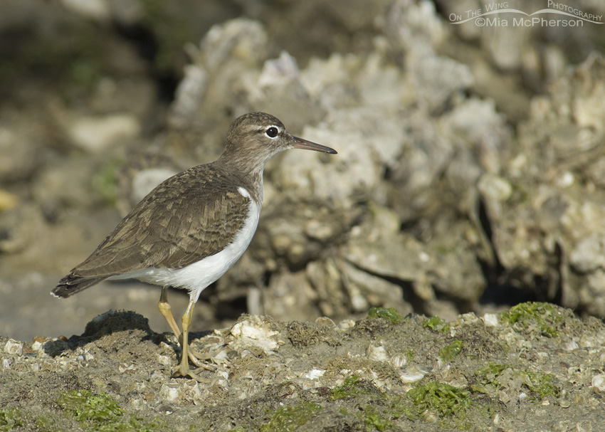 Spotted Sandpiper on rip rap